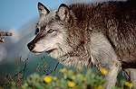 Timber Wolf (Canis lupus) adult portrait, North America