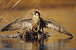 Peregrine Falcon (Falco peregrinus) adult in protective stance standing on downed duck, North America