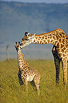 Masai Giraffe (Giraffa camelopardalis tippelskirchi) mother and young, Kenya