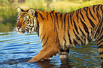 Siberian Tiger (Panthera tigris altaica) walking through a shallow river, Asia