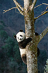 Giant Panda (Ailuropoda melanoleuca) climbing tree, endangered, Wolong Valley, China