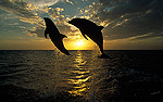 Bottlenose Dolphin (Tursiops truncatus) pair leaping at sunrise, Honduras, Central America