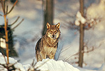 Eurasian Timber Wolf (Canis lupus) Europe through Russian Asia