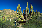 Cardon cactus (Pachycereus pringlei) photographed by tourist, largest cacti in the world and may live over 200 years, Sonoran Desert, Baja California, Mexico