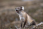 Arctic Fox (Alopex lagopus) pup howling, Arctic, North America
