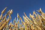 Wheat (Triticum sp.) field, Upper Bavaria, Germany