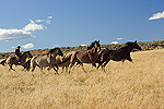 Cowgirl driving a group of five horses (Equus caballus) Oregon