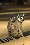 Ring-tail Lemur (Lemur catta) baby on mother's back, vulnerable species, Madagascar