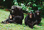 Chimpanzees (Pan troglodytes) Fifi's family, Gombe Stream National Park, Tanzania