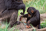 Chimpanzee (Pan troglodytes) teaching young male to use fishing tool, Washington Park Zoo