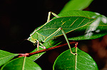 Leaf-mimic Katydid (Aegimia elongata) on stem, camouflaged amongst leaves, Costa Rica
