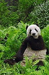 Giant Panda (Ailuropoda melanoleuca) eating bamboo, Wolong China Conservation and Research Center for the Giant Panda within Wolong Reserve, Sichuan Province, China
