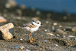 Piping Plover (Charadrius melodus) portrait of chick, Long Island, New York