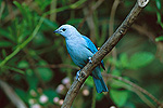 Blue-gray Tanager (Thraupis episcopus) perched in a tree, Costa Rica