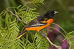 Baltimore Oriole (Icterus galbula) male perched on a branch, Rio Grande Valley, Texas