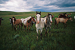 Spanish Mustang (Equus caballus) young bachelor studs interact and graze together, northern Wyoming