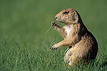 UploadBlack-tailed Prairie Dog (Cynomys ludovicianus) eating grass in summer, Devil's Tower National Park, Wyoming