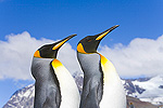 King Penguin (Aptenodytes patagonicus) rookery, fall, St Andrews Bay, South Georgia Island, Southern Ocean, Antarctic Convergance