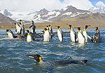 King Penguin (Aptenodytes patagonicus) swimming near beach and coastal rocks, fall morning, St Andrews Bay, Allardyce Range in background, South Georgia Island, Southern Ocean, Antarctic Convergence