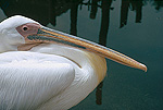 American White Pelican (Pelecanus erythrorhynchos) portrait, close up, North America