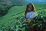 Woman harvesting leaves in tea plantation, Munnar, India