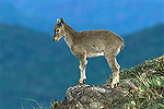 Nilgiri Tahr (Hemitragus hylocrius) baby standing on rock, Eravikulam National Park, Munnar Forest, Kerala, India
