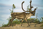 Barren Ground Caribou (Rangifer tarandus) adult, Northwest Territories, Canada