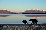 Alaskan Brown Bear or Grizzly Bear (Ursus arctos) mother and yearling on shore of Brooks Lake in evening light, Katmai National Park, Alaska