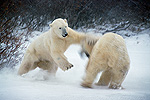 Polar Bear (Ursus maritimus) adult male charging opponent, Churchill, Manitoba, Canada