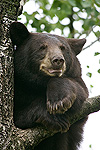 Black Bear (Ursus americanus) juvenile male in tree, Orr, Minnesota