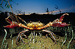 Giant Mud Crab or Mangrove Crab (Scylla serrata) with claws spread wide in defensive posture, Mahakam Delta, Indonesia