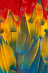 Scarlet Macaw (Ara macao) close-up of colorful feathers