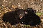 Black Bear (Ursus americanus) 7 week old cubs playing in den. One cub shows brown color phase while the other shows black color phase