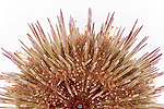 Sea Urchin (Psammechinus miliaris) diameter approximately four centimeters, North Sea, Helgoland, Germany