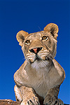 African Lion (Panthera leo) female portrait in rehabilitation center, Namibia