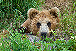 Brown Bear (Ursus arctos) cub, Kamchatka, Russia
