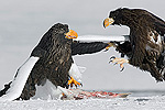 Steller's Sea Eagle (Haliaeetus pelagicus) adult and juvenile fighting over fish, Kamchatka, Russia