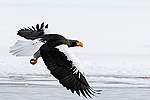 Steller's Sea Eagle (Haliaeetus pelagicus) in flight, Kamchatka, Russia