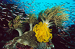Reef scene with Yellow Crinoid (Comantheria sp.) Leather Coral (Sarcophyton sp.) and schooling fish, Papua New Guinea