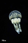 A transparent Scyphozoa jellyfish in a saltwater lake. cnidaria cnidarians cnidarian, Mastigias papua , Palau Micronesia