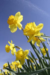 Yellow daffodils against blue sky.