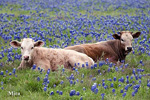 Two cows laying in a field of Bluebonnets near Temple, Texas