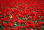 Yellow tulip in field of red tulips. Tourists from around the world visit the Skagit Valley Tulip festival every spring