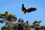 Bald Eagle family and nest.