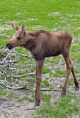 Young moose, Alaska, AK, USA