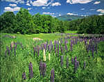 Lupines and Mt. Lafayette, White Mountains