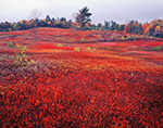 Blueberry Fields in Fall