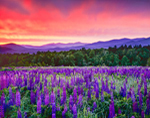 Lupines and White Mountains at Predawn