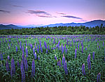 Lupines and White Mountains