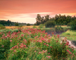 Joe-Pye Weed in Wet Meadow Along Lawrence Brook at Sunset, Royalston, MA